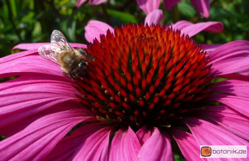 echinacea purpurea 39 rubinstern 39 roter sonnenhut garten pflanzen blumen gartenbetriebe. Black Bedroom Furniture Sets. Home Design Ideas