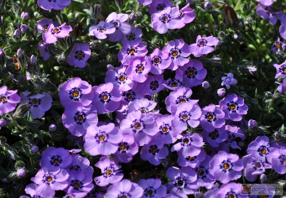 Phlox douglasii Lilac Cloud  TeppichPhlox  Garten