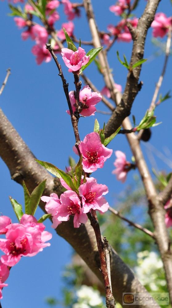 prunus persica nectarina nektarinenbaum garten