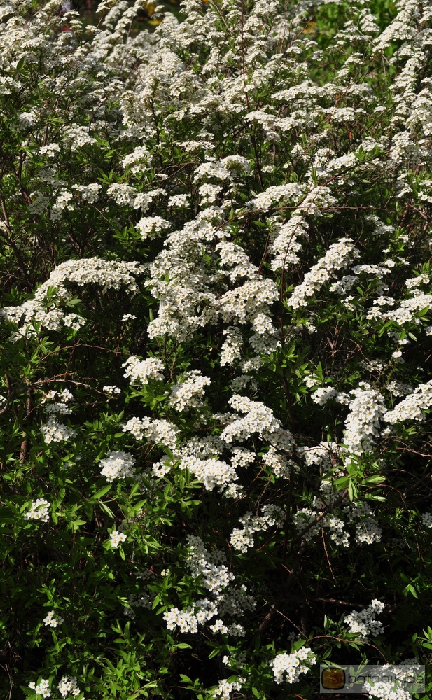 spiraea cinerea 39 grefsheim 39 wei e rispenspiere garten. Black Bedroom Furniture Sets. Home Design Ideas