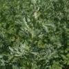 Artemisia absinthium -- Wermut, Absinth