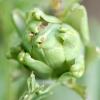 Cynara scolymus -- Artischocke