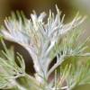 Artemisia abrotanum -- Eberraute