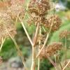 Angelica archangelica -- Erzengelwurz