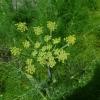 Foeniculum vulgare -- Fenchel