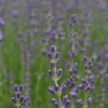 Lavandula angustifolia 'Royal Purple' -- Lavendel