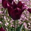 Tulipa Havran