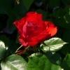 ADR Rose Schloss Mannheim