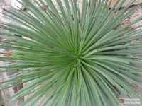 Agave echinioides