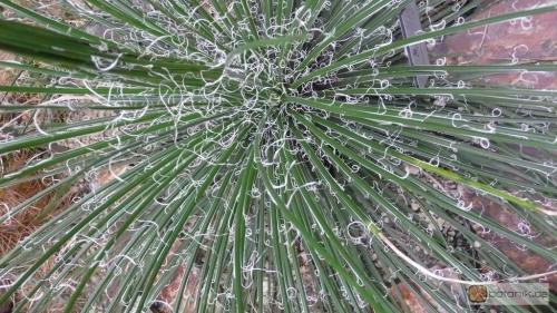 agave geminiflora garten pflanzen blumen gartenbetriebe g rtnereien baumschulen bilder botanik. Black Bedroom Furniture Sets. Home Design Ideas