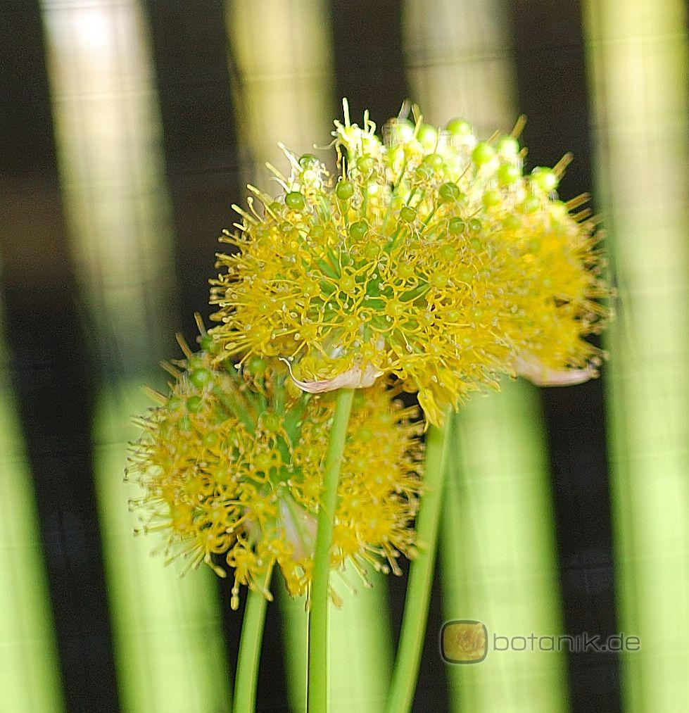 Allium hookeri -- Hookers Lauch