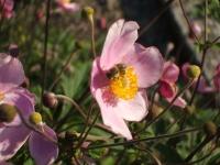Anemone hupehensis -- Herbst-Anemone