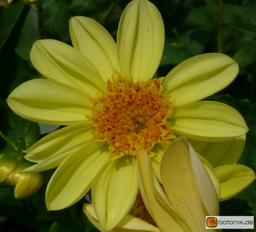 Anemonenblütige Dahlie Gamelan