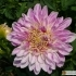 Anemonenblütige Dahlie Lambada