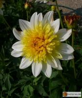 Anemonenblütige Dahlie Pasa Doble