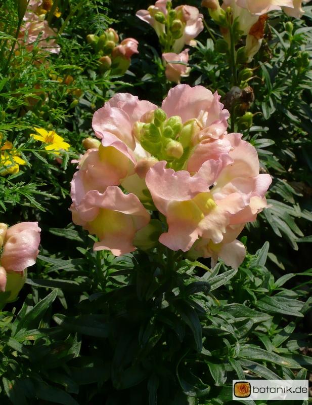 Antirrhinum majus 'Peaches and Cream' -- Löwenmäulchen