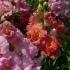 Antirrhinum majus 'Madame Butterfly' -- Großes Löwenmaul 'Madame Butterfly'