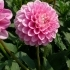 Dahlia 'Peter' -- Ball Dahlie 'Peter'