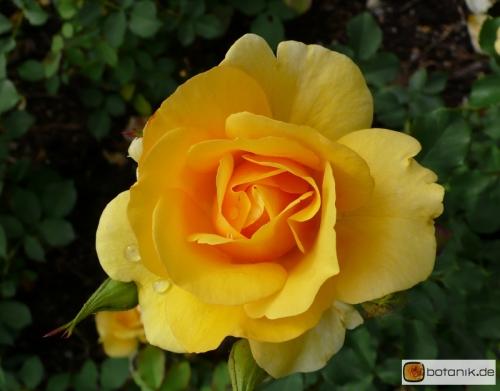 Rosa Benita -- Floribundarose Benita