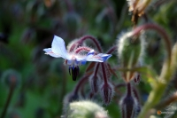 Borago officinalis -- Borretsch