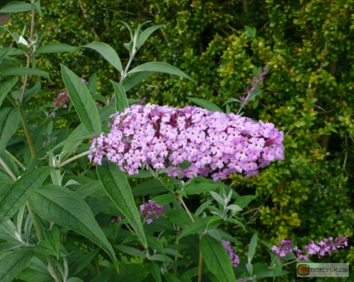 Buddleja davidii 'Fascinating' -- Schmetterlingsflieder