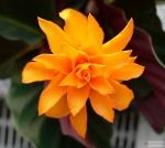 Calathea crocata -- Korbmarante