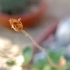 Calceolaria fothergillii -- Pantoffelblume fothergillii