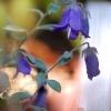 Campanula cashmeriana -- Afghanische Glockenblume