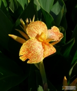 Canna indica Hybride 'Golden Lucifer' -- Blumenrohr Hybride 'Golden Lucifer'