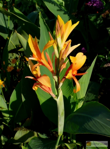 canna indica 39 heliconiifolia annaei 39 blumenrohr hybride garten pflanzen blumen. Black Bedroom Furniture Sets. Home Design Ideas