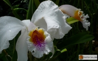 Cattleya mossiae semialba
