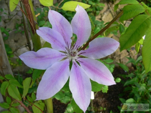 Clematis 'Nelly Moser' -- Waldrebe