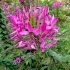 Cleome spinosa 'Fliederfarbe' -- Stachelige Spinnenpflanze 'Fliederfarbe'