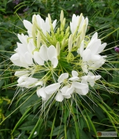 Cleome spinosa 'Helen Campbell' -- Spinnenblume