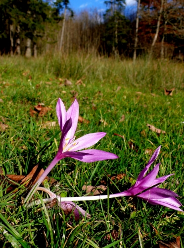 Colchicum autumnale -- Herbstzeitlose