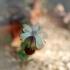 Cyananthus macrocalyx -- Himalaja-Gelbstern