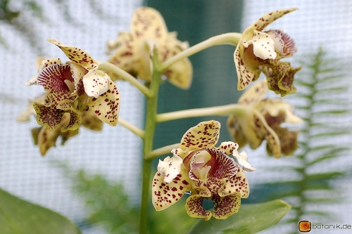 Dendrobium spec moeglicherw. atroviolaceum