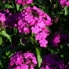Dianthus barbatus Noverna purple -- Bartnelke