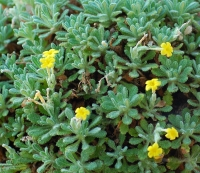 Dionysia bornmuelleri x aretioides