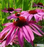 Echinacea purpurea 'Rubinstern' -- Roter Sonnenhut