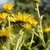 Inula helenium -- Echter Alant