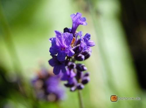 Lavandula angustifolia -- Echter Lavendel