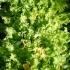 Cichorium endivia -- Endivie