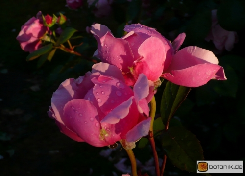 Englische Rose 'Brother Cadfeal'