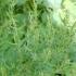 Artemisia dracunculus -- Estragon