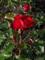 Floribundarose 'Bad Füssing'