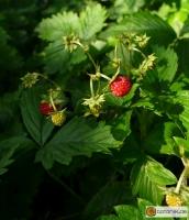 Fragaria vesca -- Wald-Erdbeere