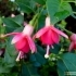 Fuchsia Hybride Display