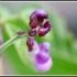 Phaseolus vulgaris -- Gartenbohne