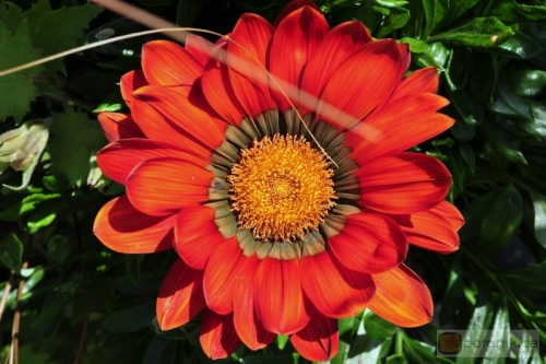 Gazania rigens Gazoo 'red with Ring'